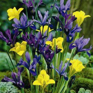1-iris